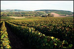 Vineyard, France, grape vines